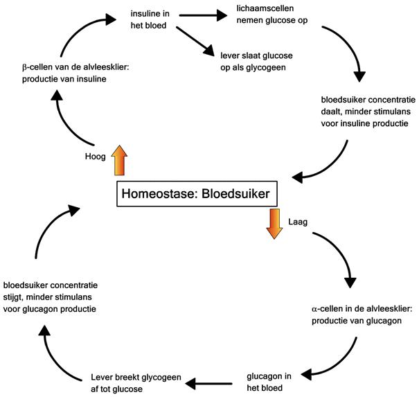 Homeostase BG